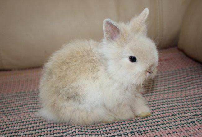 Декоративные кролики ангорской породы