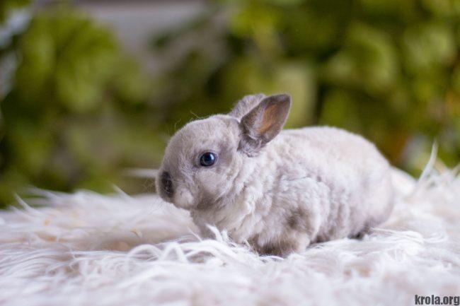 Декоративные кролики породы рекс фото