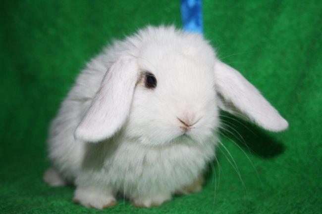 Декоративный кролик из питомника Тихон