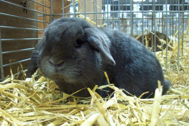 Декоративный кролик карликовый баран