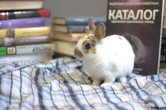 Декоративный кролик карликовый рекс