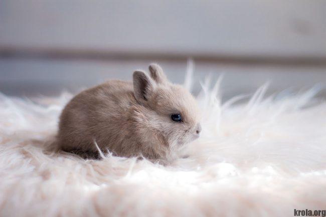 Декоративный кролик карликовый цветной