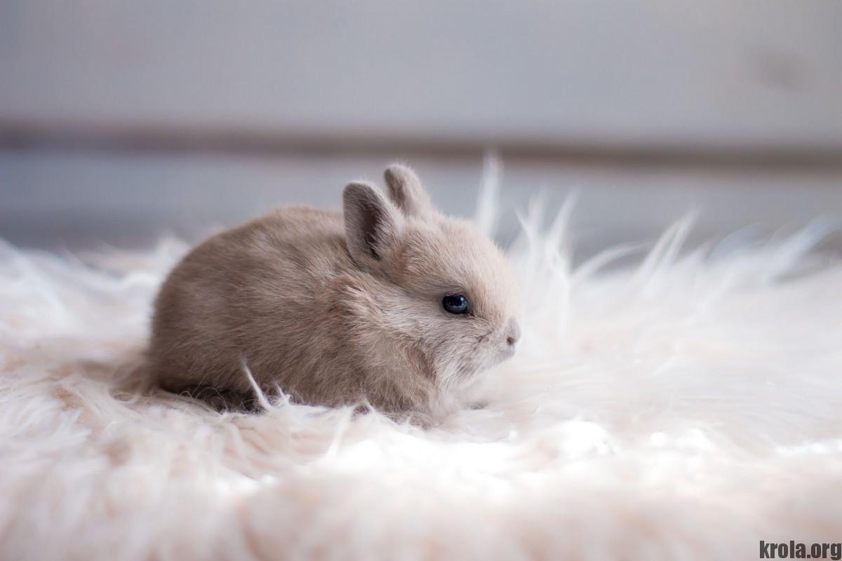 декоративный кролик. фото