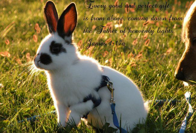 Декоративный кролик породы бабочка
