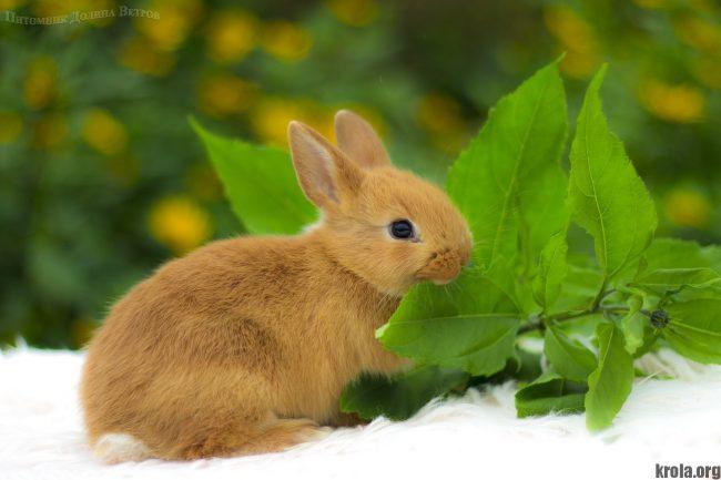 Декоративный кролик цветной карлик - фото