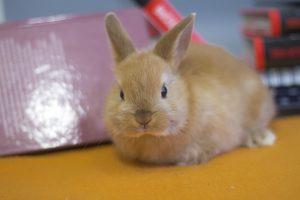 Декоративный цветной карликовый кролик