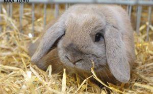 Карликовый баран - вислоухий кролик
