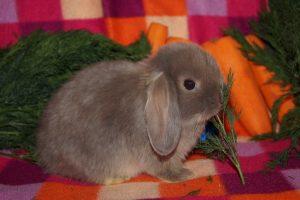Карликовый баран сатин - фото крольченка