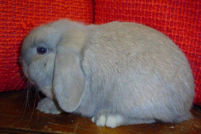 Карликовый кролик баран отзывы