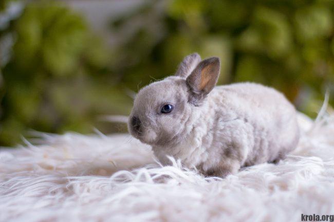 Карликовый кролик породы рекс фото