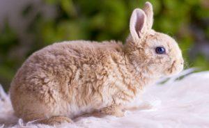 Карликовый рекс кролик