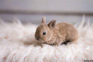 Карликовый рекс - фото крольчонка