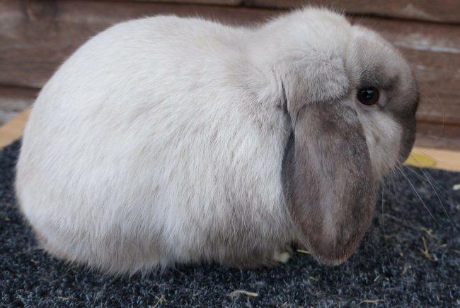 Кролик карликовый баран отзывы
