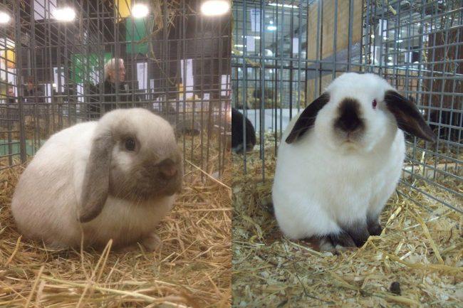 Кролик карликовый вислоухий баран - фото