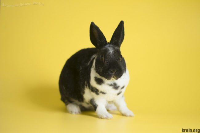 Кролик карликовый рекс фото