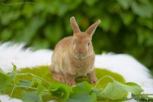 Кролик породы карликовый рекс фото