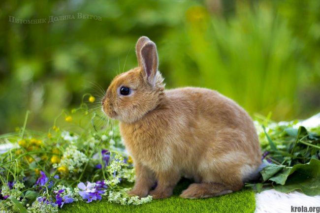 Кролик породы цветной карлик фото