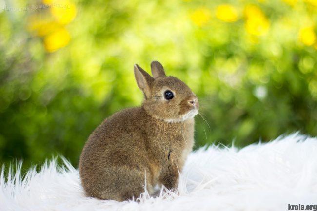 Кролик цветной карлик характер