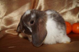 Крольчонок карликовый баран фот