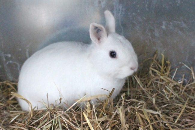 Нидерландский Карлик - фото декоративного кролика