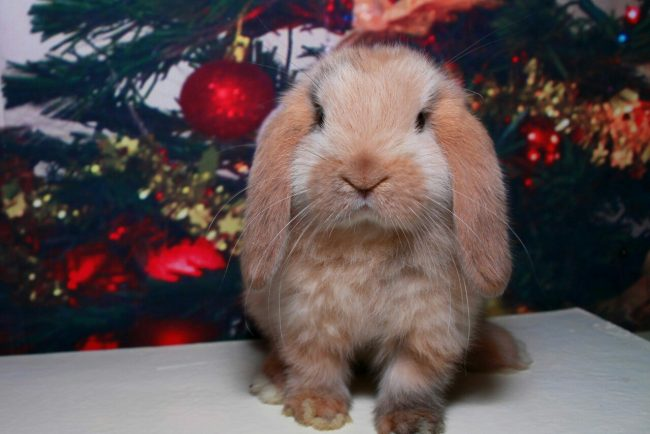 Питомник декоративных кроликов в Москве - «Красная жемчужина»