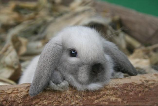 Питомник декоративных кроликов в Киеве «Зайчишка»