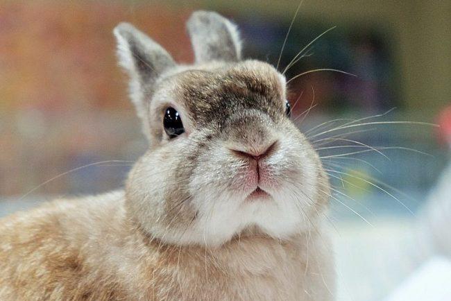 Питомник декоративных кроликов в СПб «Кролик Кузя»