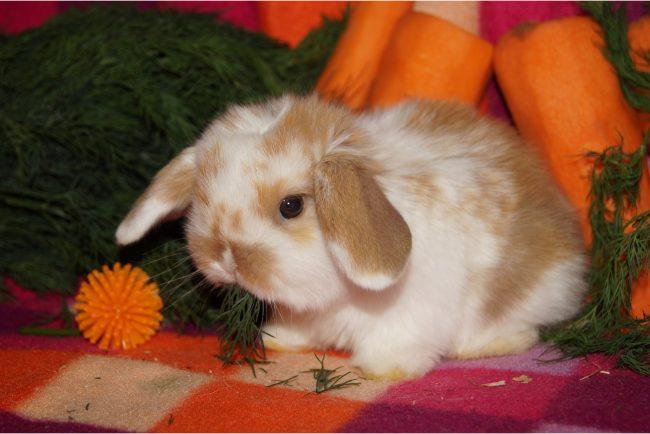 Питомник карликовых кроликов в Туле «Весна»