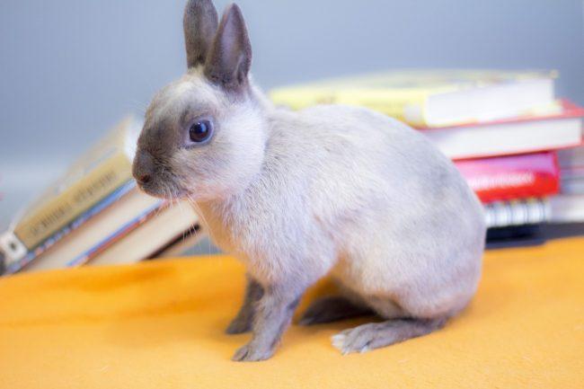 Польский кролик - фото
