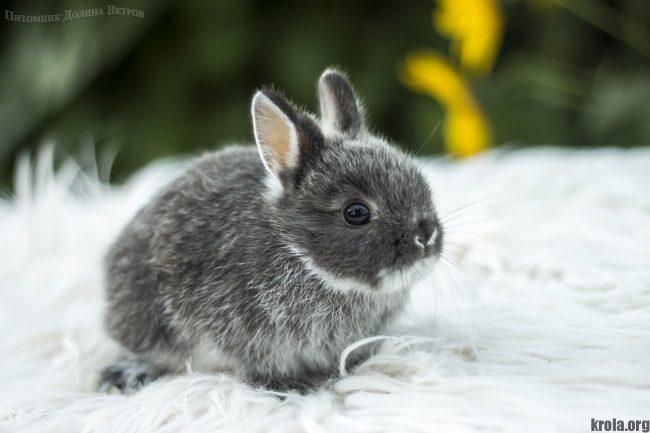Породы декоративных карликовых кроликов - Минор