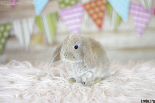 Породы декоративных кроликов с фотографиями - вислоухий карликовый баран