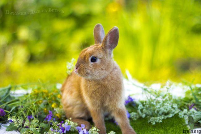 Породы декоративных кроликов с фотографиями и названиями