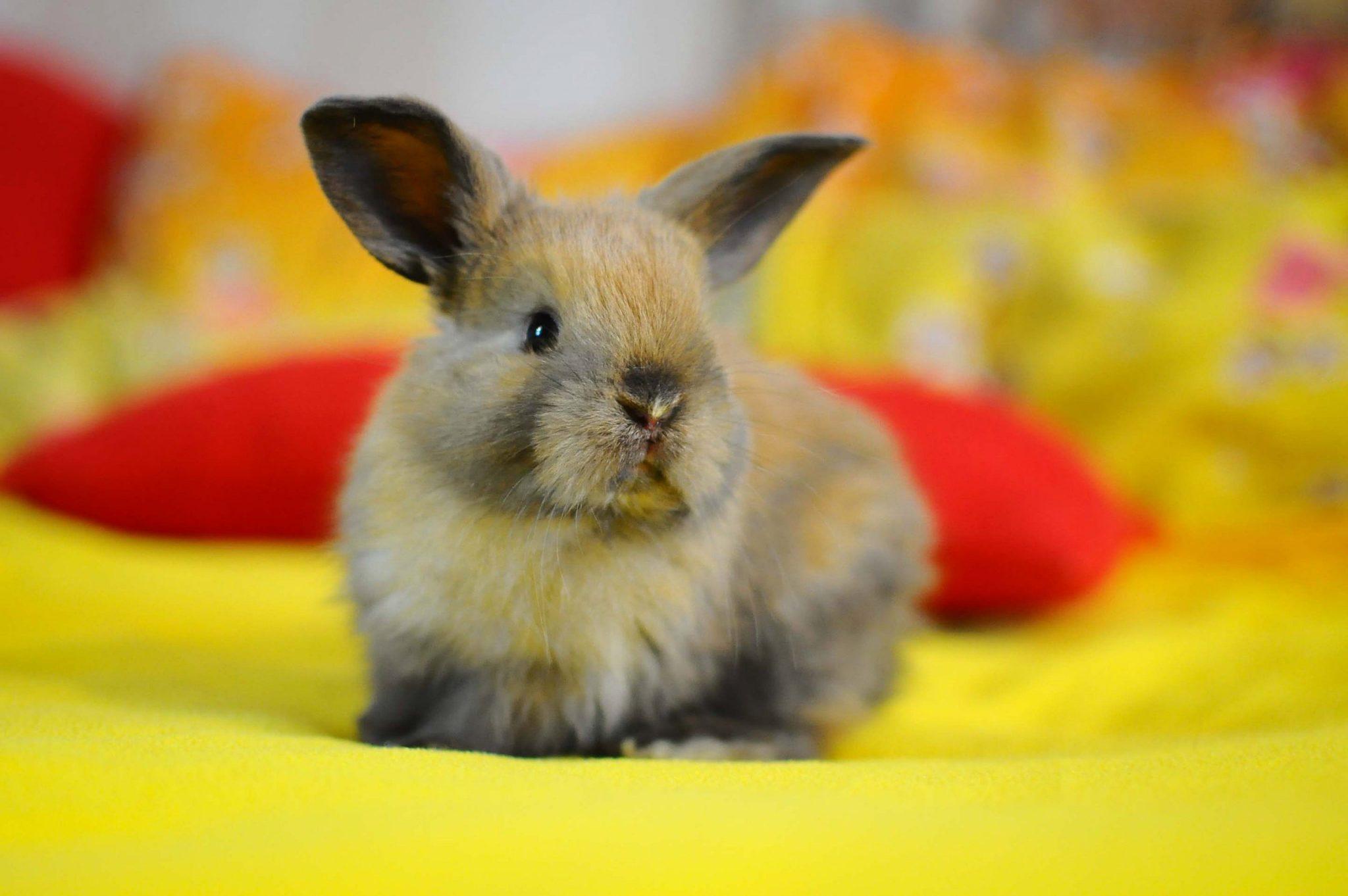Сколько живут декоративные кролики в домашних условиях ... Декоративные Кролики Уход