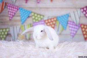 Сколько стоит декоративный кролик - вислоухий баран