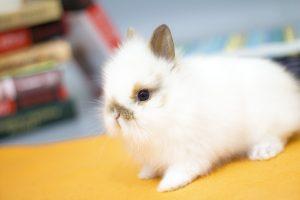 Сколько стоит декоративный кролик - карликовый львиноголовый