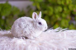 Сколько стоит декоративный кролик - карликовый рекс