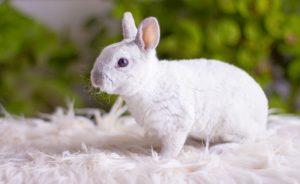 Сколько стоит декоративный кролик
