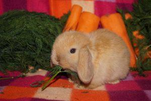 Фото вислоухого крольченка