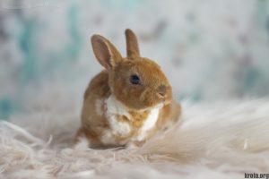 Фото декоративного кролика породы карликовый рекс