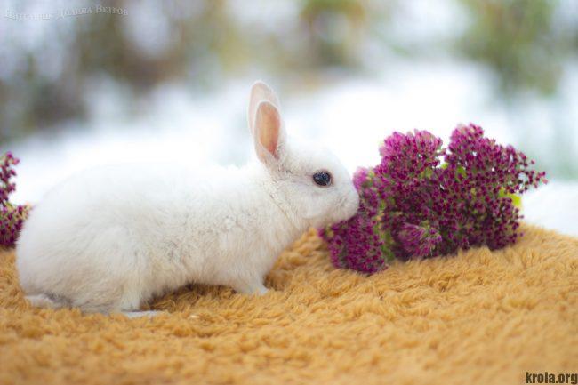 Фото кролика карликовый рекс