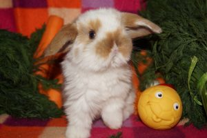 Фото крольченка карликового барана