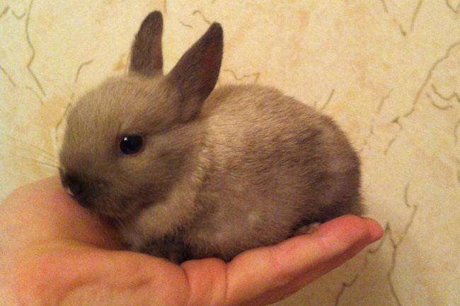 Фото крольчонка карликовой породы.
