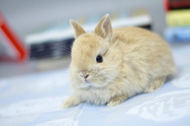 Цветной карлик кролик