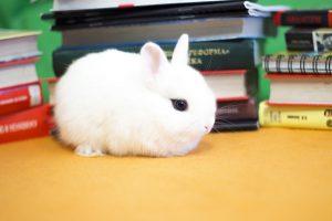 Цветной карлик - фото декоративного кролика