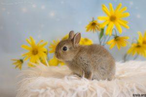 Цветной карлик - фото кролика