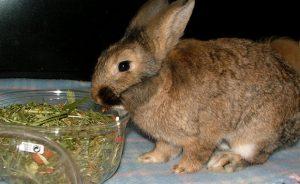 Чем кормить декоративного кролика в домашних условиях