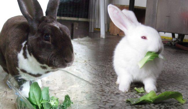 Чем можно кормить декоративного кролика