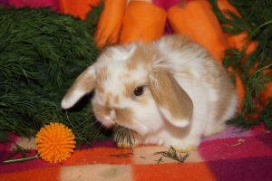 Срок жизни декоративных кроликов