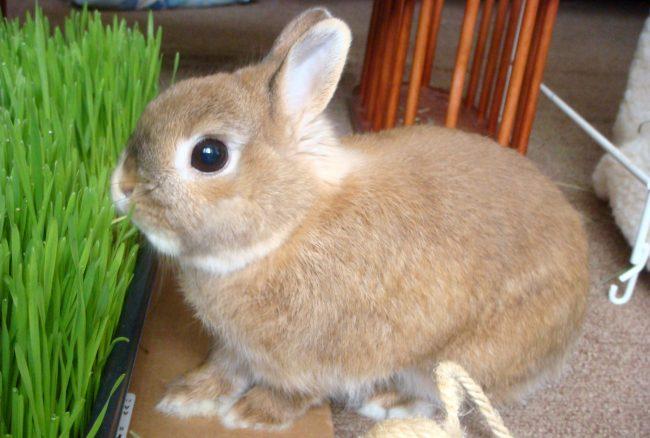 Декоративные кролики - уход и кормление