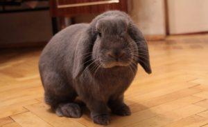 Декоративные кролики - уход и содержание